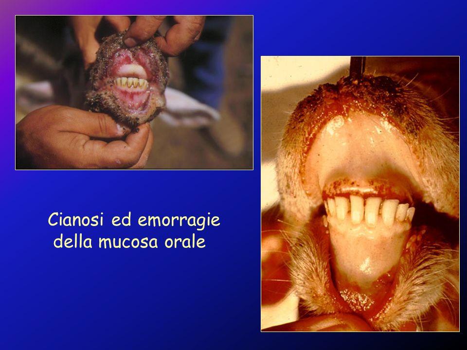 Cianosi ed emorragie della mucosa orale