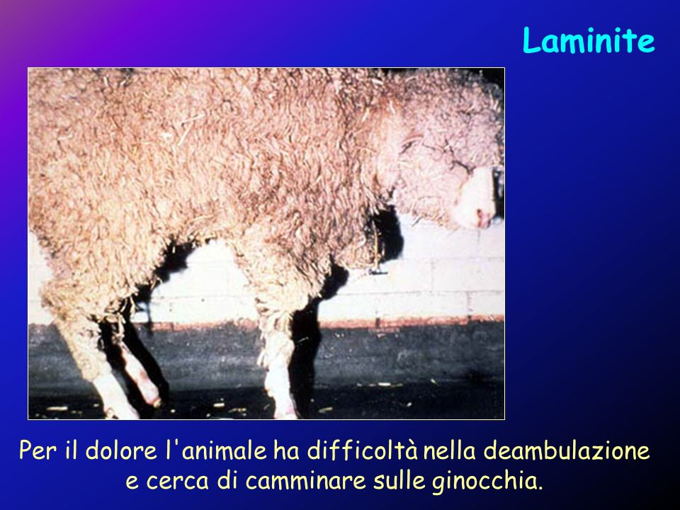Laminite Per il dolore l animale ha difficoltà nella deambulazione e cerca di camminare sulle ginocchia.