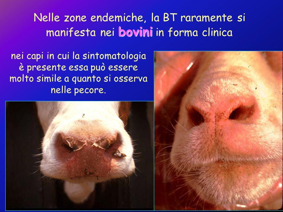 Nelle zone endemiche, la BT raramente si manifesta nei bovini in forma clinica
