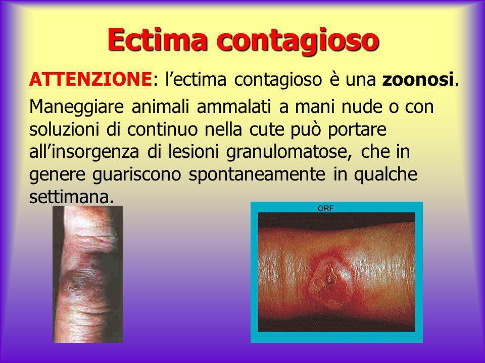 Ectima contagioso ATTENZIONE: l'ectima contagioso è una zoonosi.