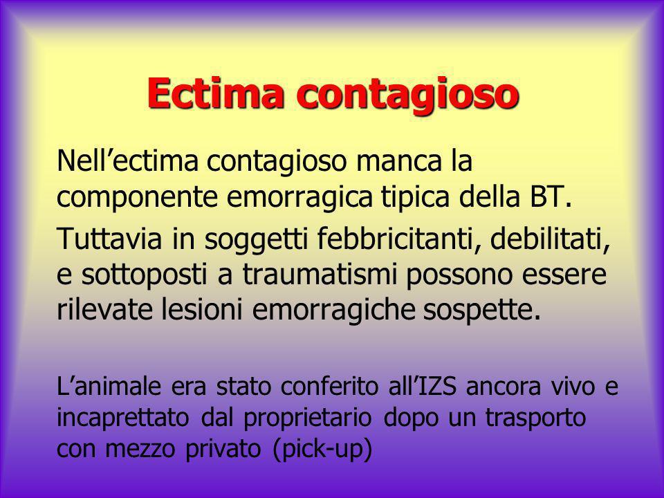 Ectima contagioso Nell'ectima contagioso manca la componente emorragica tipica della BT.
