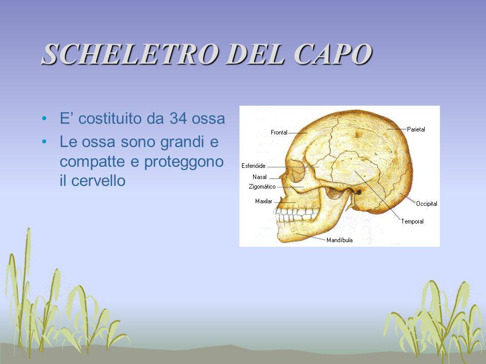 SCHELETRO DEL CAPO E' costituito da 34 ossa