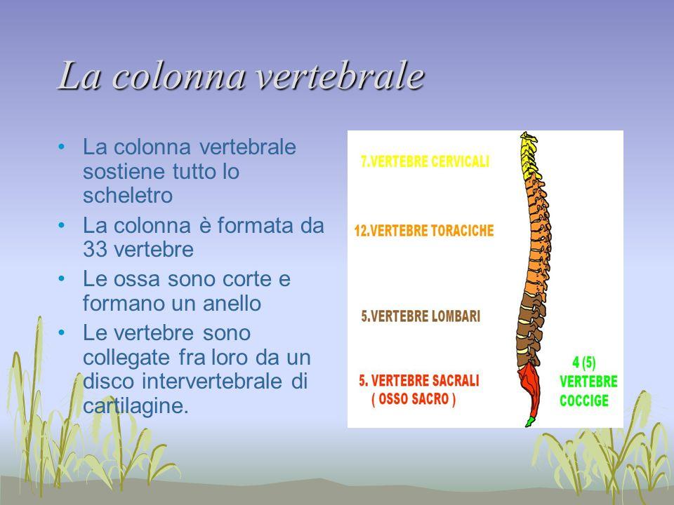 La colonna vertebrale La colonna vertebrale sostiene tutto lo scheletro. La colonna è formata da 33 vertebre.