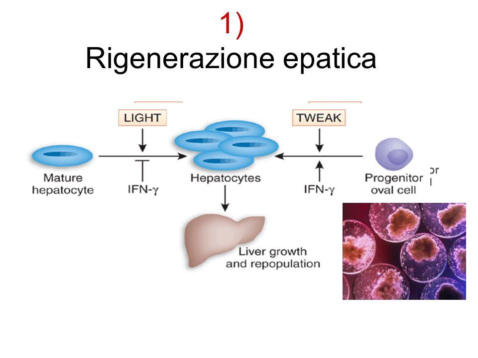 1) Rigenerazione epatica