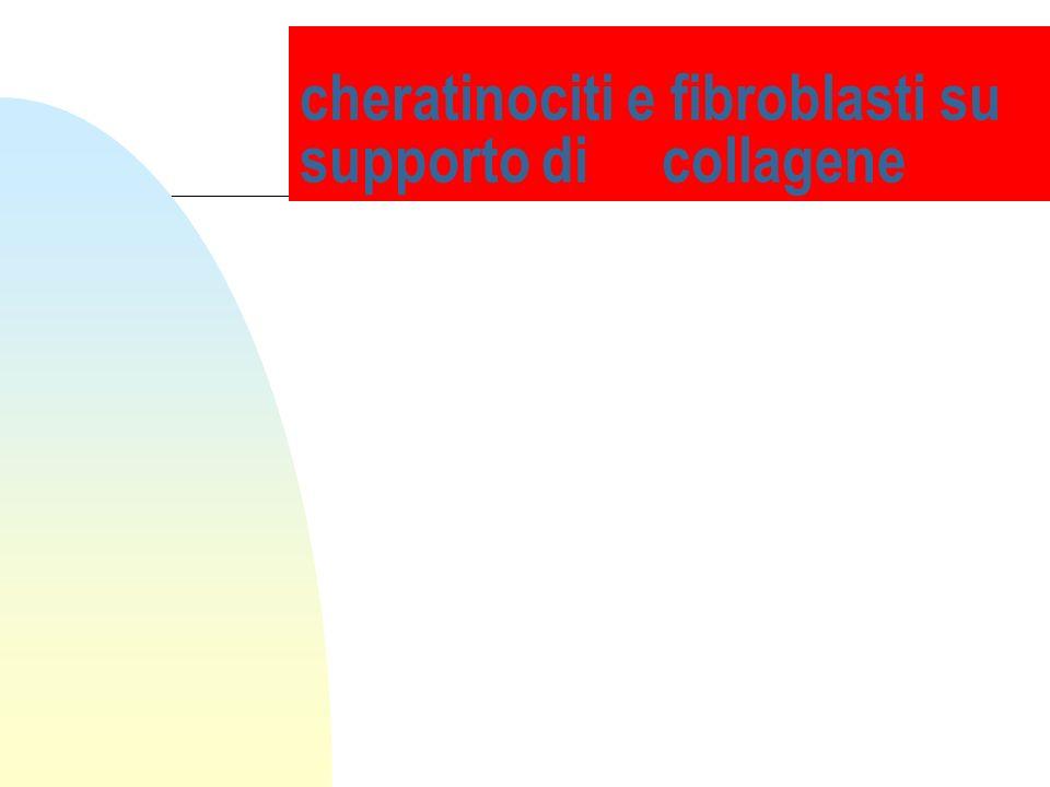 cheratinociti e fibroblasti su supporto di collagene