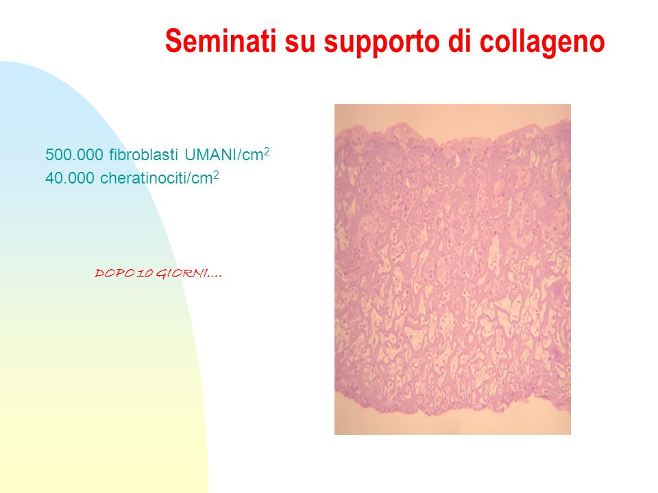 Seminati su supporto di collageno