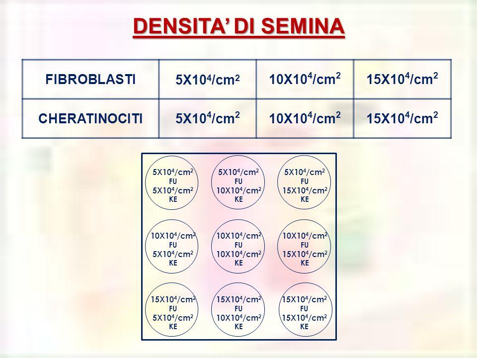 DENSITA' DI SEMINA FIBROBLASTI 5X104/cm2 10X104/cm2 15X104/cm2