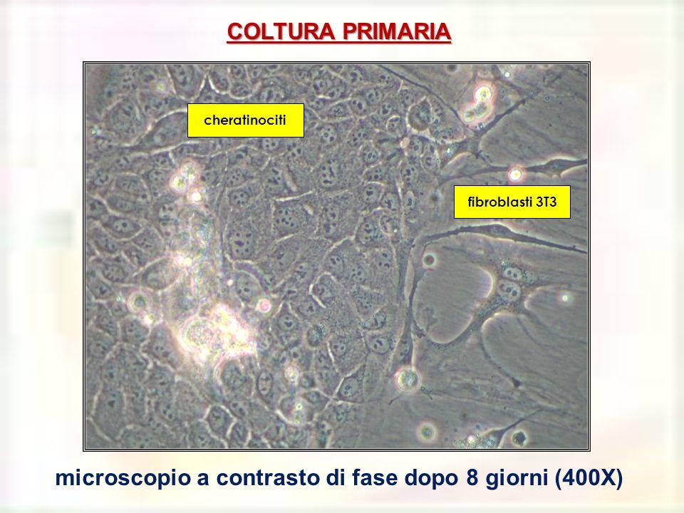 microscopio a contrasto di fase dopo 8 giorni (400X)
