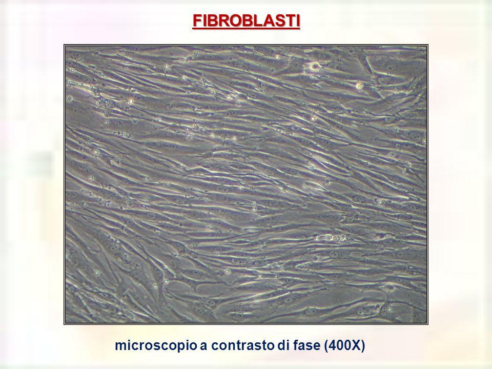microscopio a contrasto di fase (400X)