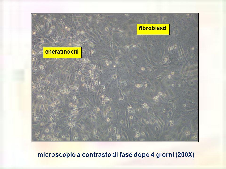 microscopio a contrasto di fase dopo 4 giorni (200X)