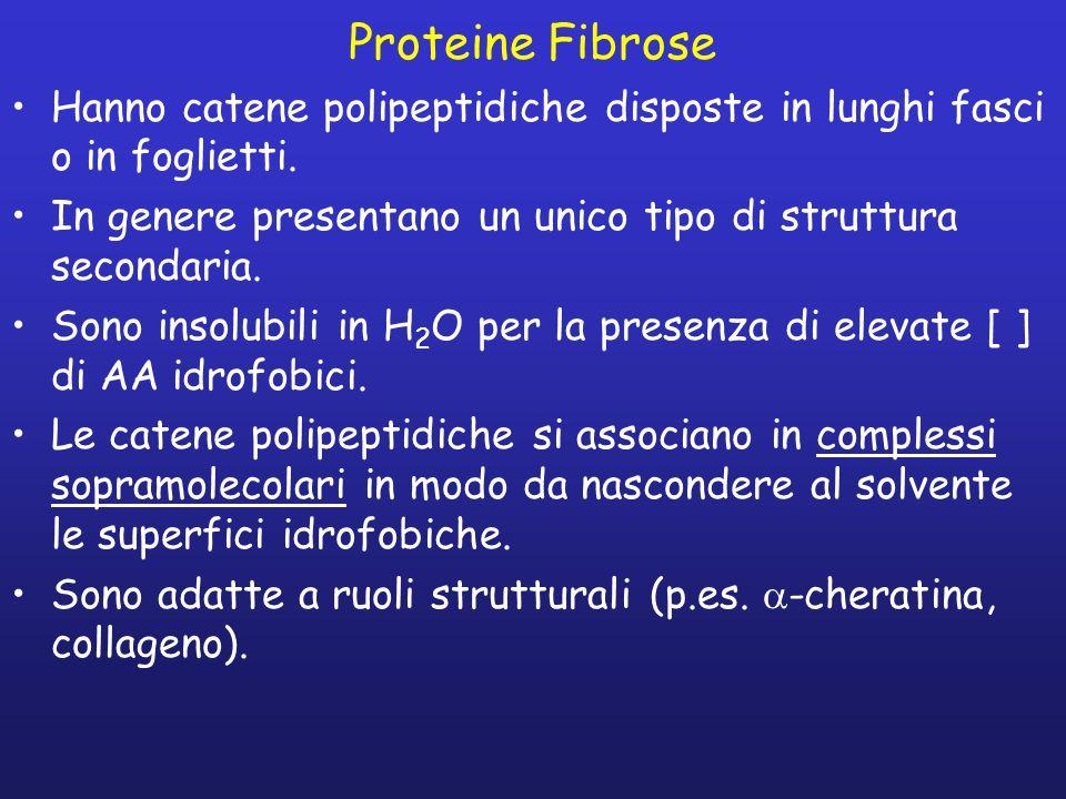Proteine Fibrose Hanno catene polipeptidiche disposte in lunghi fasci o in foglietti. In genere presentano un unico tipo di struttura secondaria.