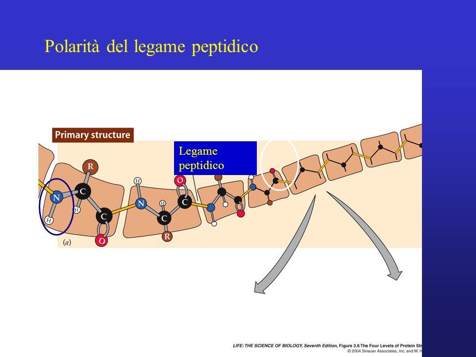 Polarità del legame peptidico