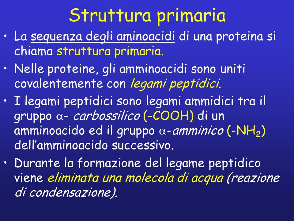 Struttura primaria La sequenza degli aminoacidi di una proteina si chiama struttura primaria.