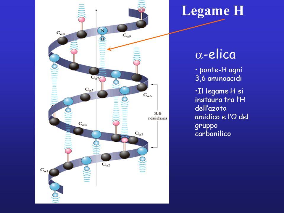 Legame H a-elica ponte-H ogni 3,6 aminoacidi