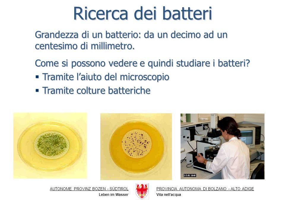 Ricerca dei batteri Grandezza di un batterio: da un decimo ad un centesimo di millimetro. Come si possono vedere e quindi studiare i batteri