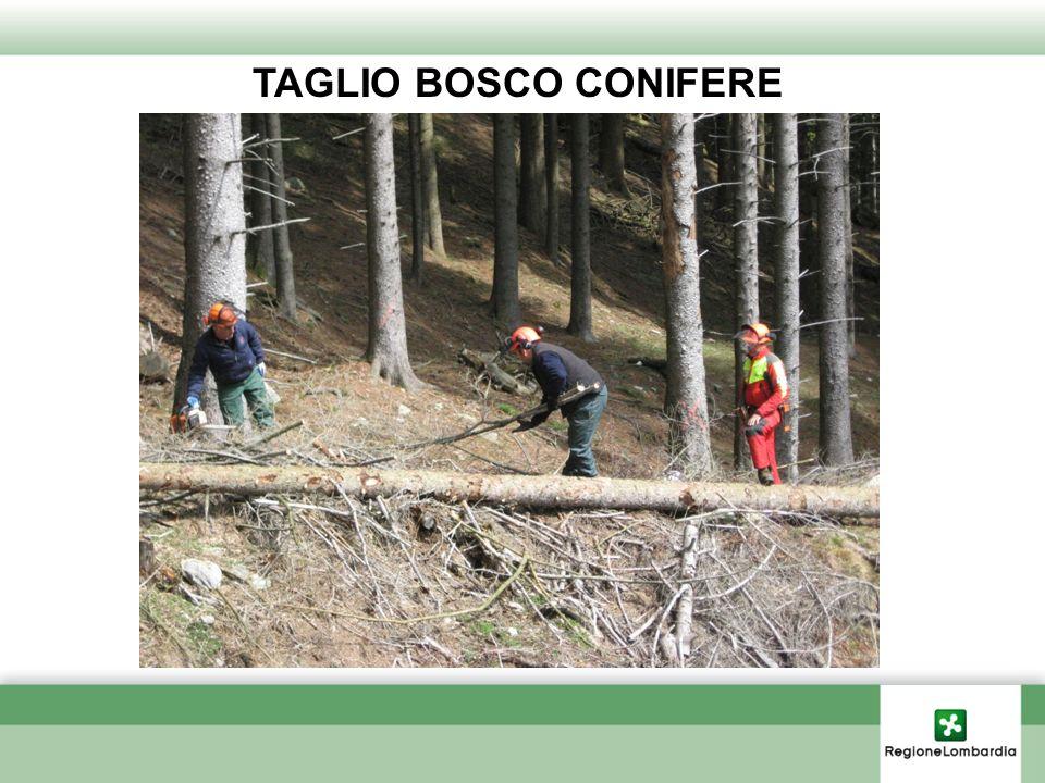 TAGLIO BOSCO CONIFERE