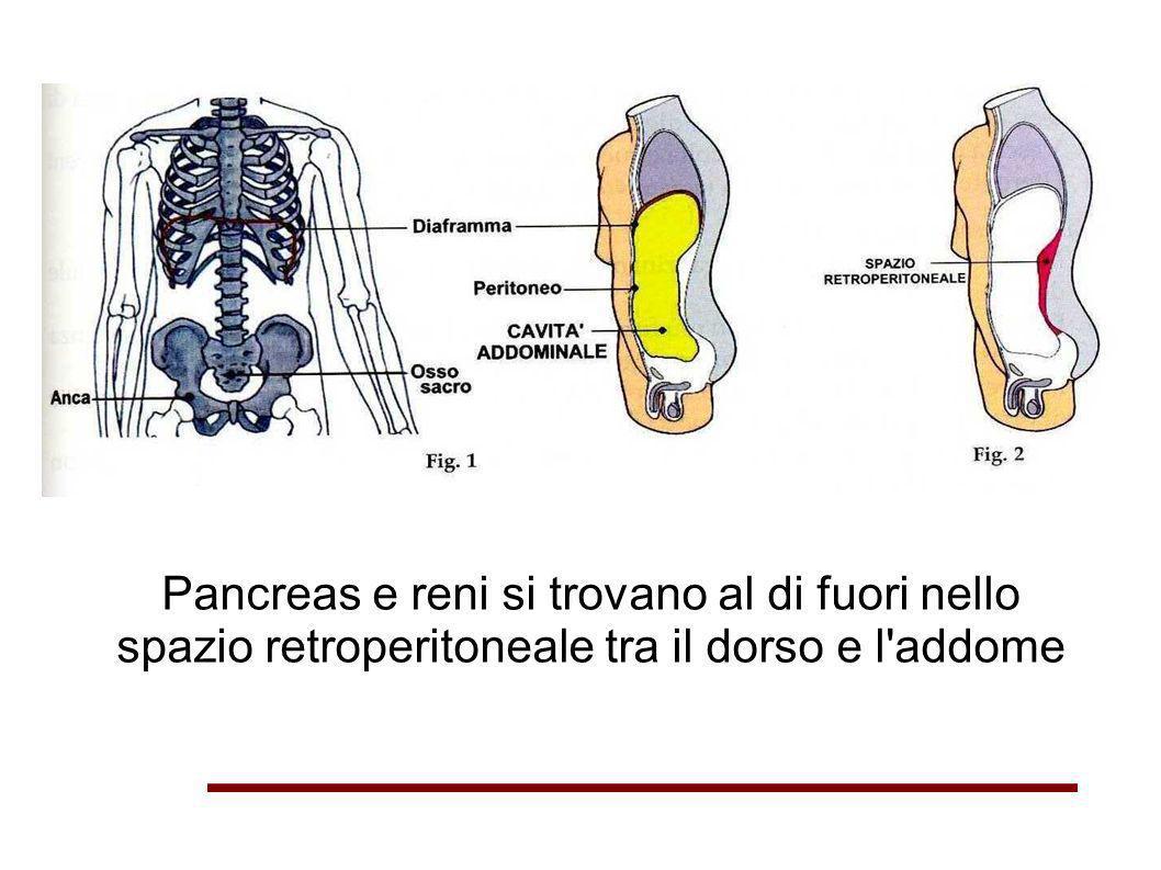 Pancreas e reni si trovano al di fuori nello spazio retroperitoneale tra il dorso e l addome