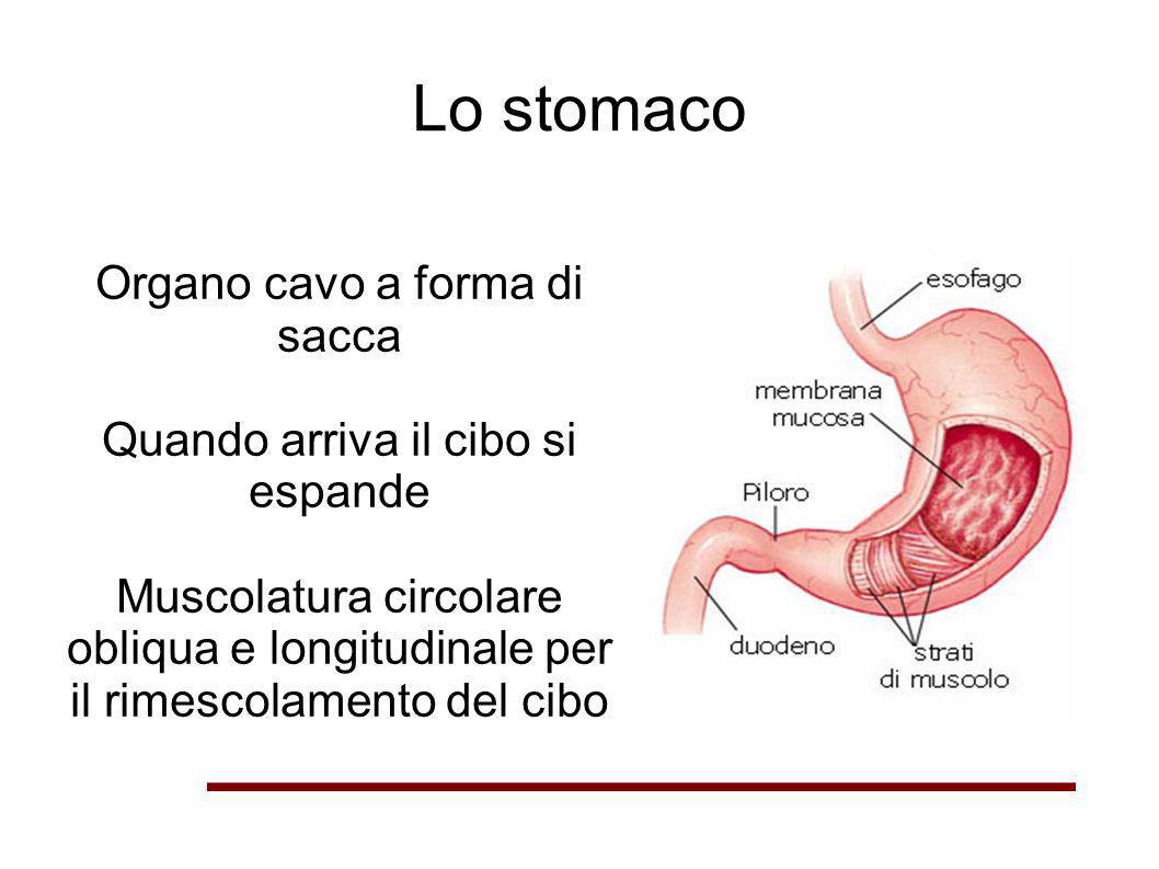Lo stomaco Organo cavo a forma di sacca
