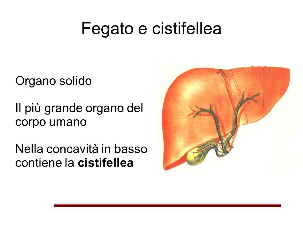 Fegato e cistifellea Organo solido