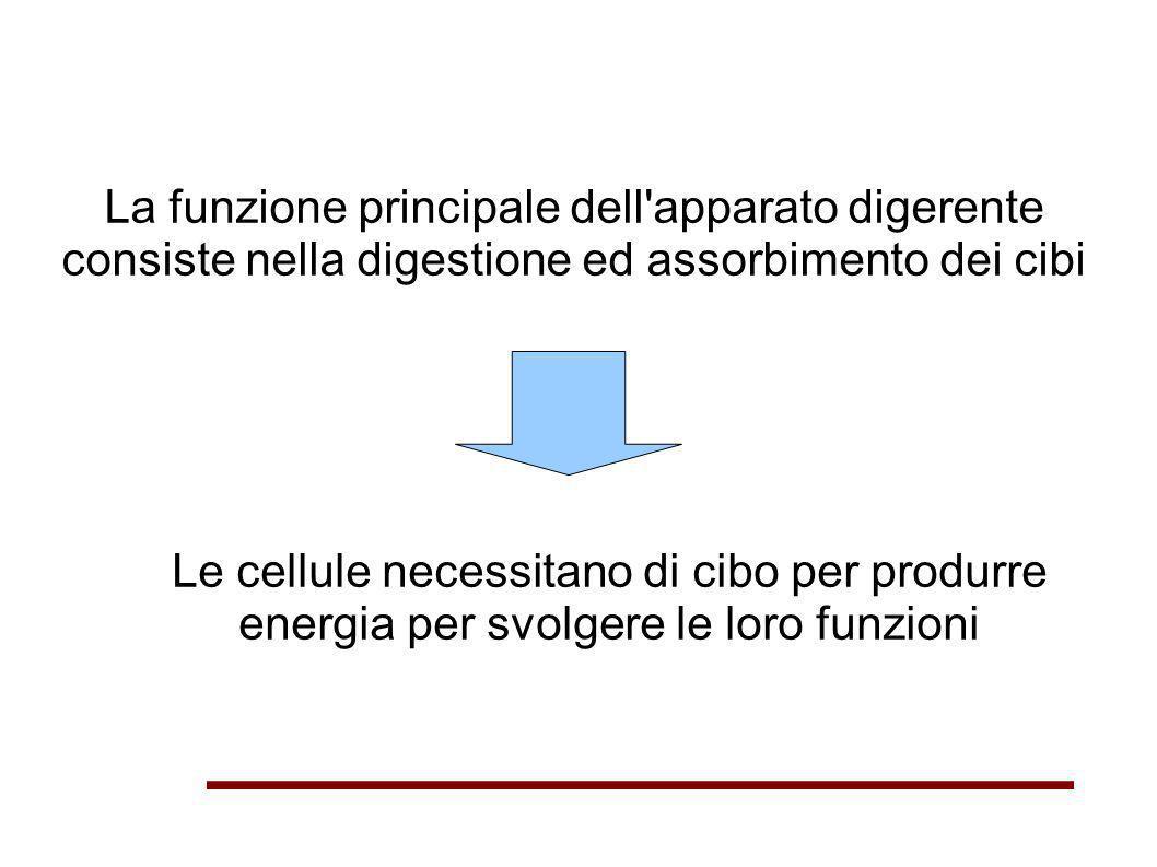 La funzione principale dell apparato digerente consiste nella digestione ed assorbimento dei cibi