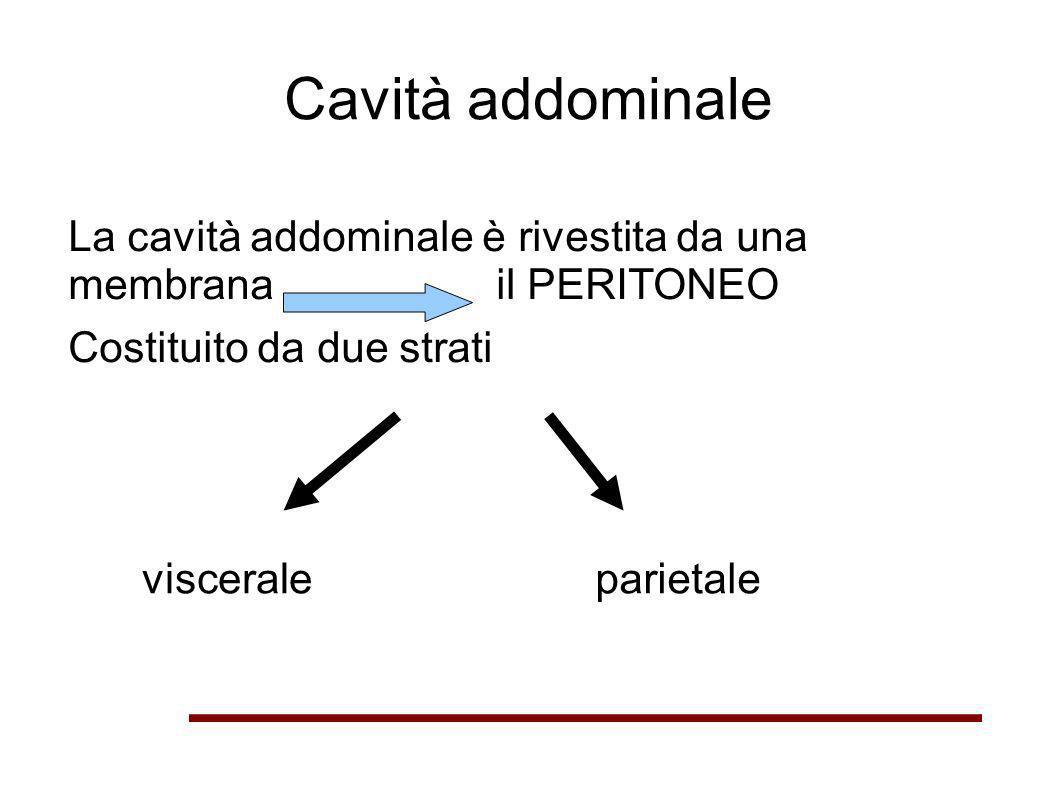 Cavità addominale La cavità addominale è rivestita da una membrana il PERITONEO. Costituito da due strati.