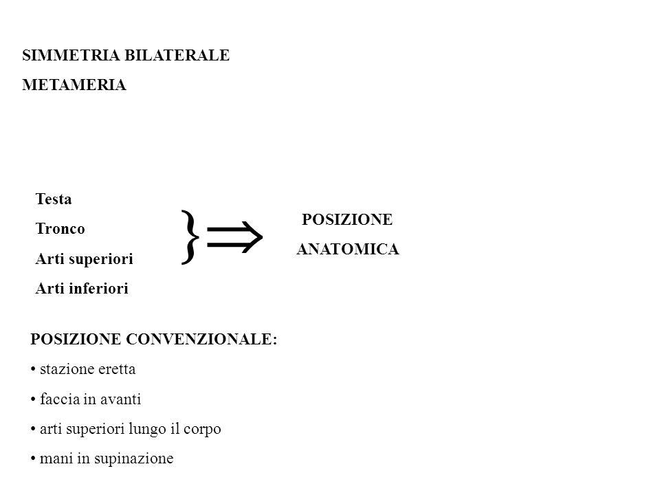  SIMMETRIA BILATERALE METAMERIA Testa Tronco POSIZIONE