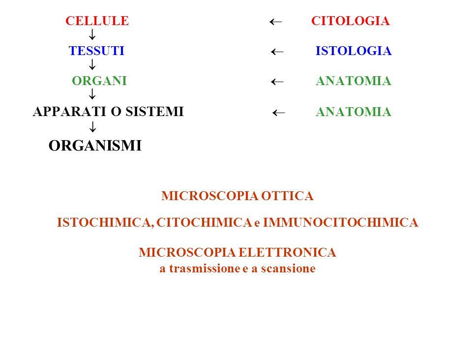 ORGANISMI APPARATI O SISTEMI  ANATOMIA CELLULE  CITOLOGIA