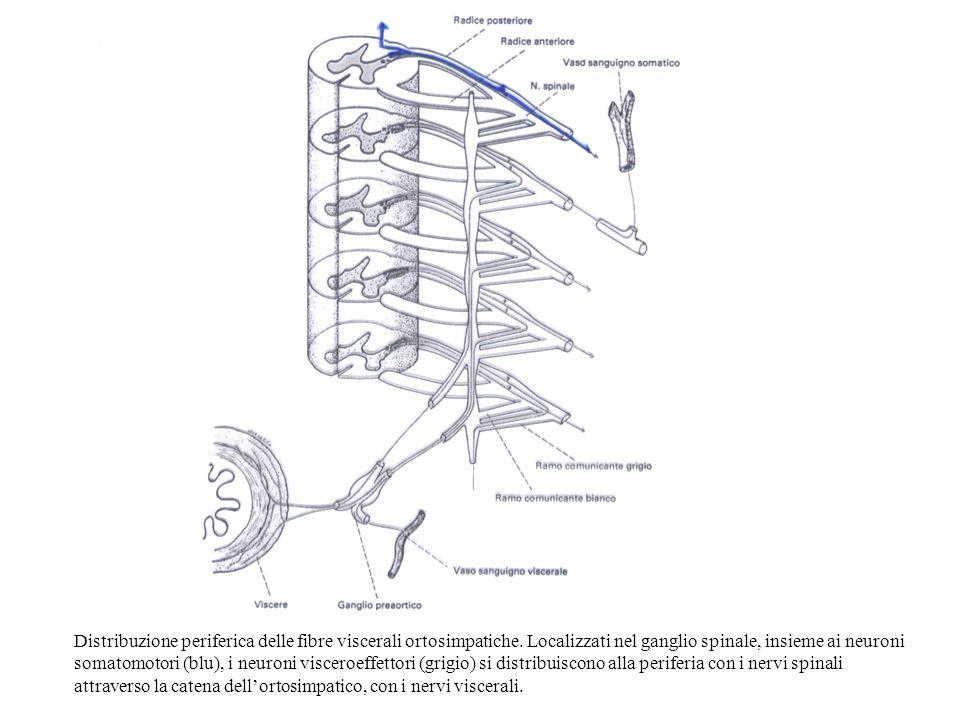 Distribuzione periferica delle fibre viscerali ortosimpatiche