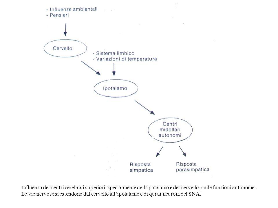 Influenza dei centri cerebrali superiori, specialmente dell'ipotalamo e del cervello, sulle funzioni autonome.