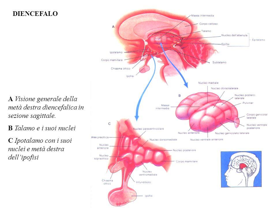 DIENCEFALO A Visione generale della metà destra diencefalica in sezione sagittale. B Talamo e i suoi nuclei.