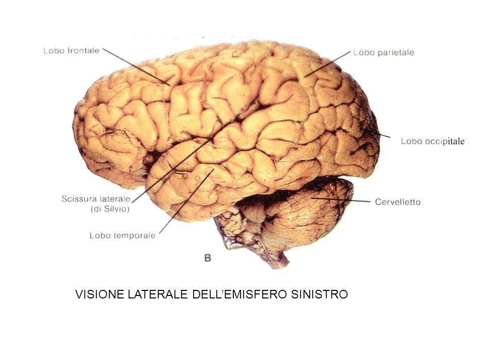 VISIONE LATERALE DELL'EMISFERO SINISTRO