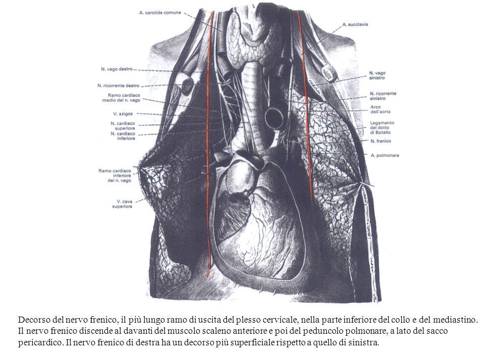 Decorso del nervo frenico, il più lungo ramo di uscita del plesso cervicale, nella parte inferiore del collo e del mediastino.