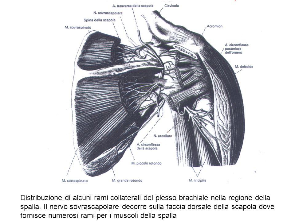 Distribuzione di alcuni rami collaterali del plesso brachiale nella regione della spalla.