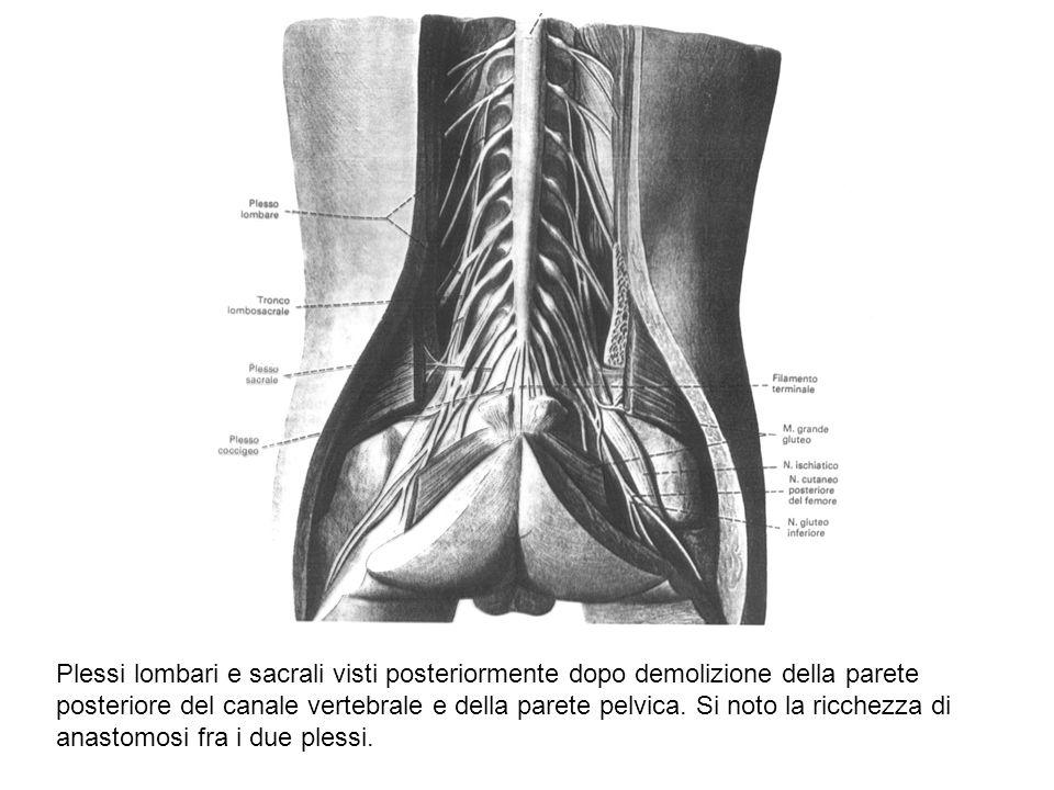 Plessi lombari e sacrali visti posteriormente dopo demolizione della parete posteriore del canale vertebrale e della parete pelvica.