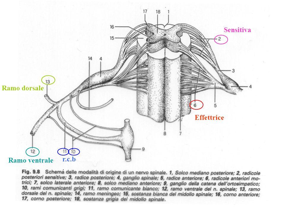 Sensitiva Ramo dorsale Effettrice Ramo ventrale r.c.b.
