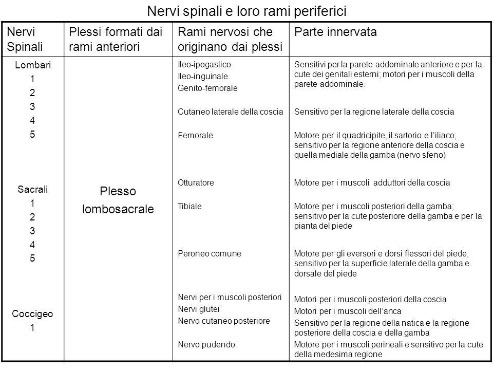 Nervi spinali e loro rami periferici