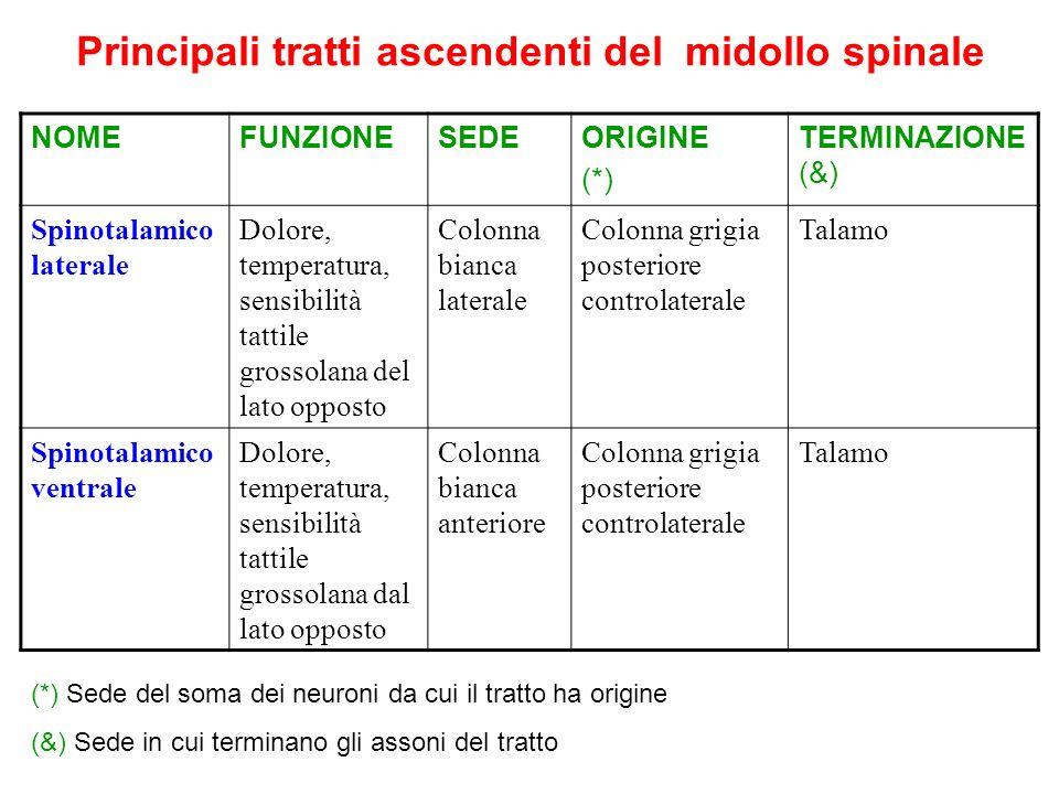 Principali tratti ascendenti del midollo spinale