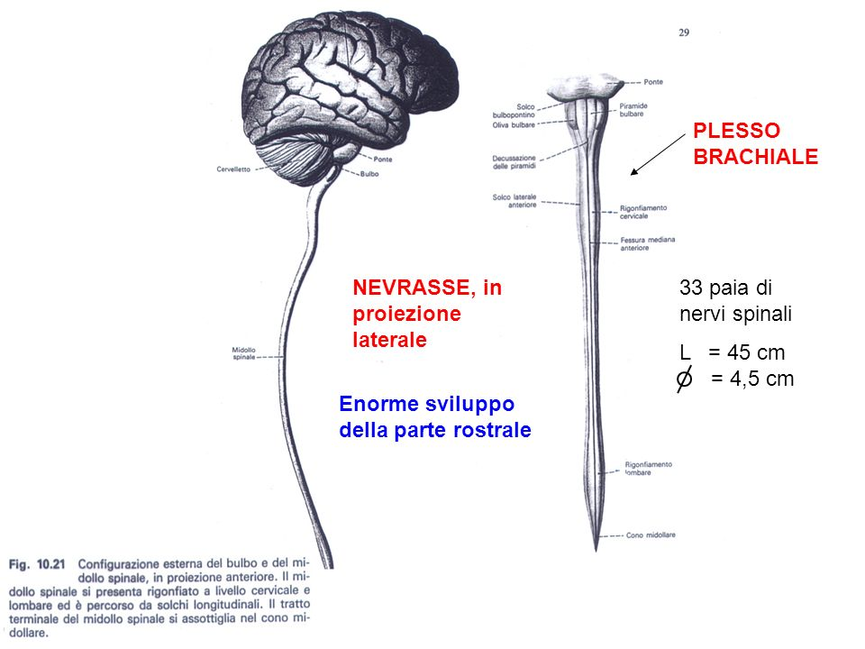 PLESSO BRACHIALE NEVRASSE, in proiezione laterale. 33 paia di nervi spinali. L = 45 cm. = 4,5 cm.