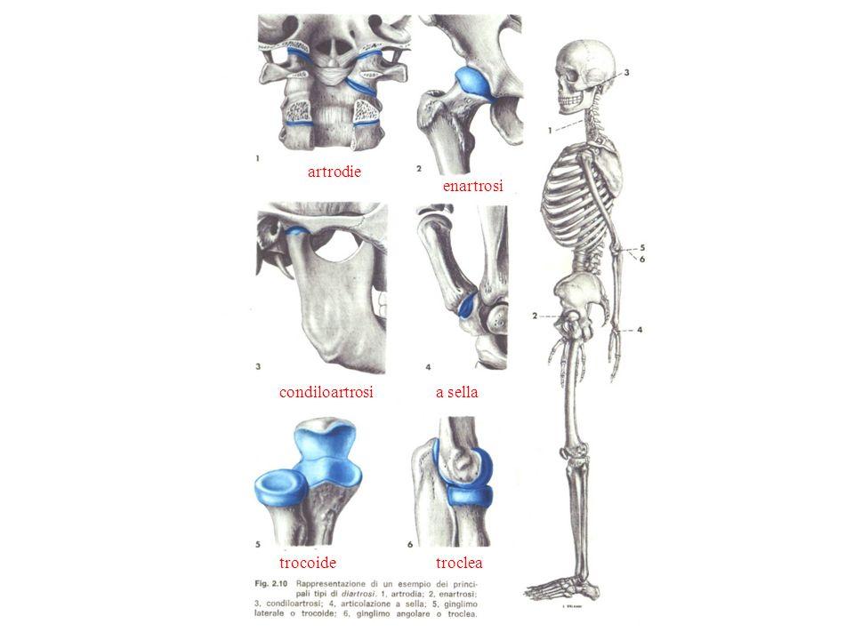 artrodie enartrosi condiloartrosi a sella trocoide troclea