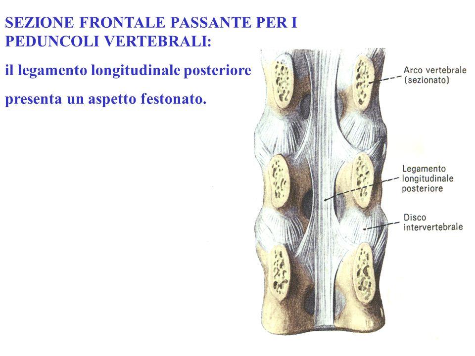 SEZIONE FRONTALE PASSANTE PER I PEDUNCOLI VERTEBRALI: