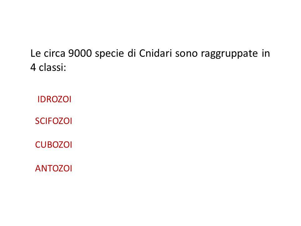 Le circa 9000 specie di Cnidari sono raggruppate in 4 classi: