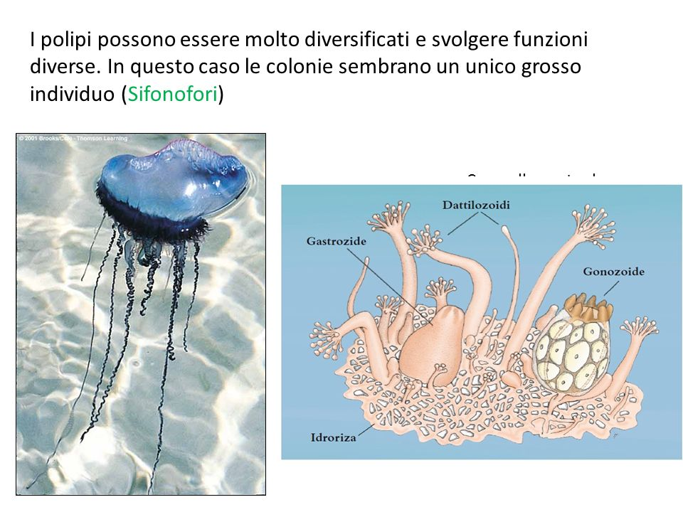I polipi possono essere molto diversificati e svolgere funzioni diverse. In questo caso le colonie sembrano un unico grosso individuo (Sifonofori)