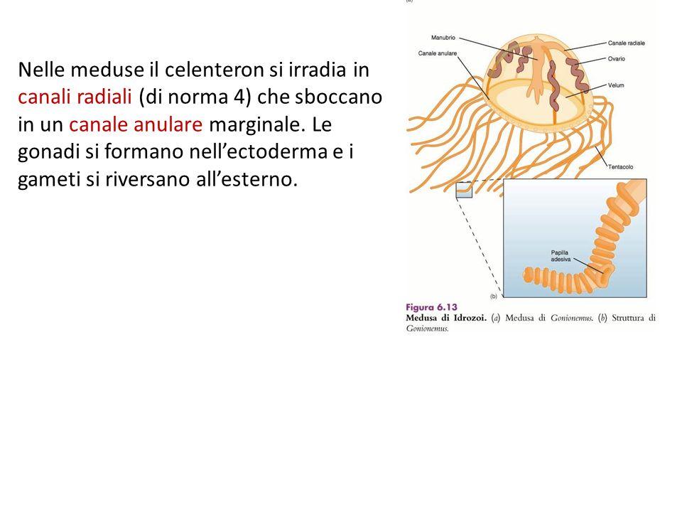 Nelle meduse il celenteron si irradia in canali radiali (di norma 4) che sboccano in un canale anulare marginale.