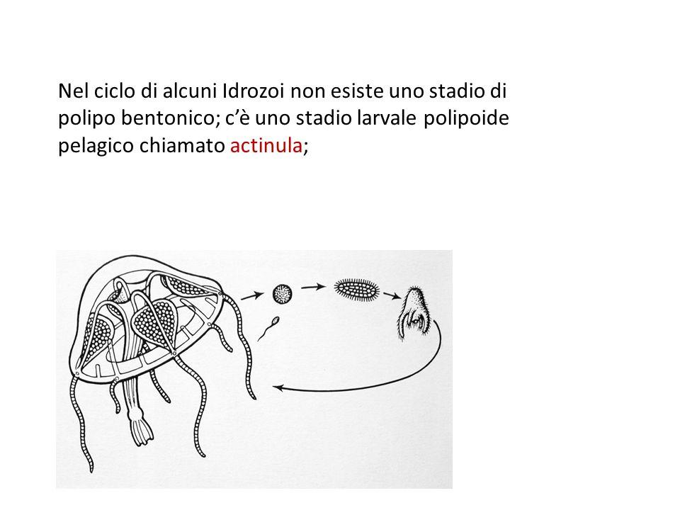 Nel ciclo di alcuni Idrozoi non esiste uno stadio di polipo bentonico; c'è uno stadio larvale polipoide pelagico chiamato actinula;
