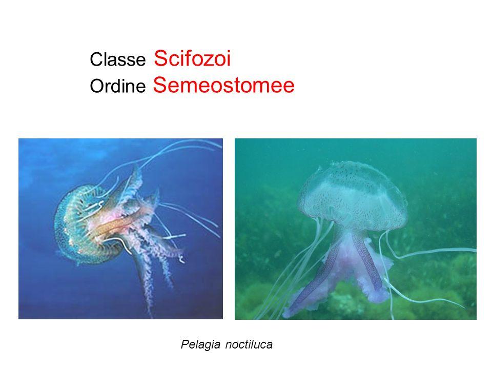 Classe Scifozoi Ordine Semeostomee Pelagia noctiluca