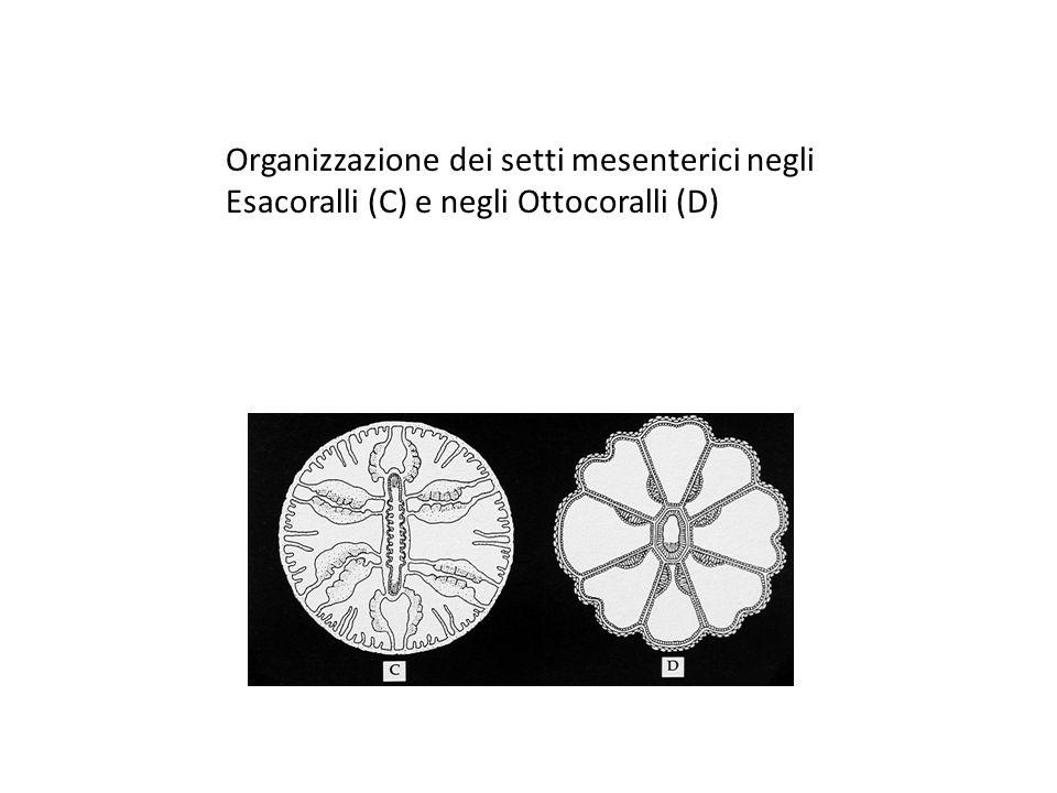 OIII Organizzazione dei setti mesenterici negli Esacoralli (C) e negli Ottocoralli (D)
