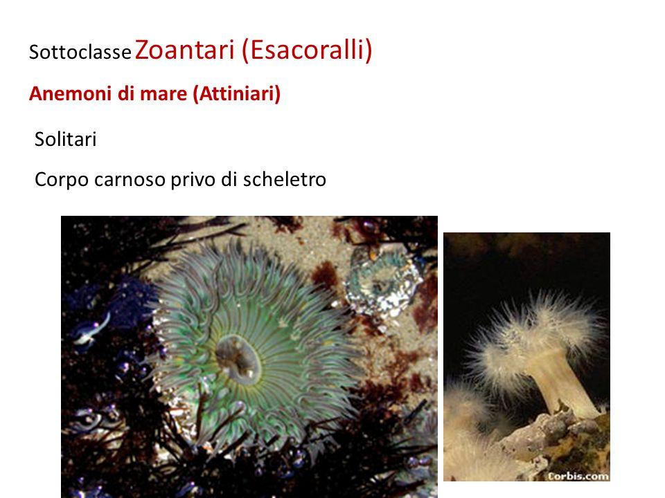 Sottoclasse Zoantari (Esacoralli)
