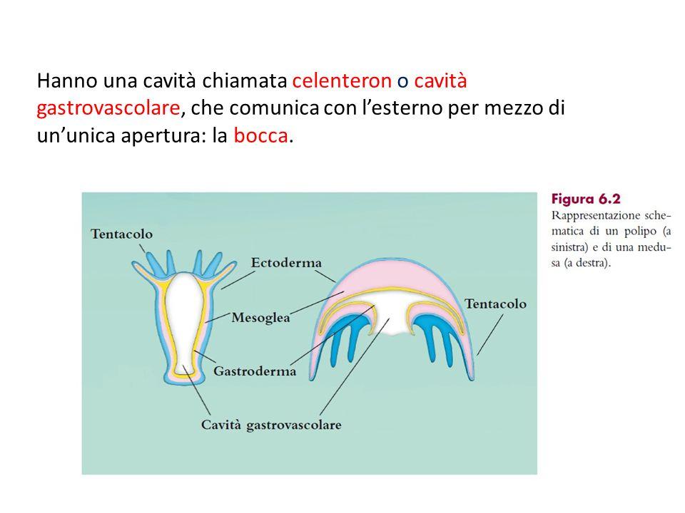Hanno una cavità chiamata celenteron o cavità gastrovascolare, che comunica con l'esterno per mezzo di un'unica apertura: la bocca.