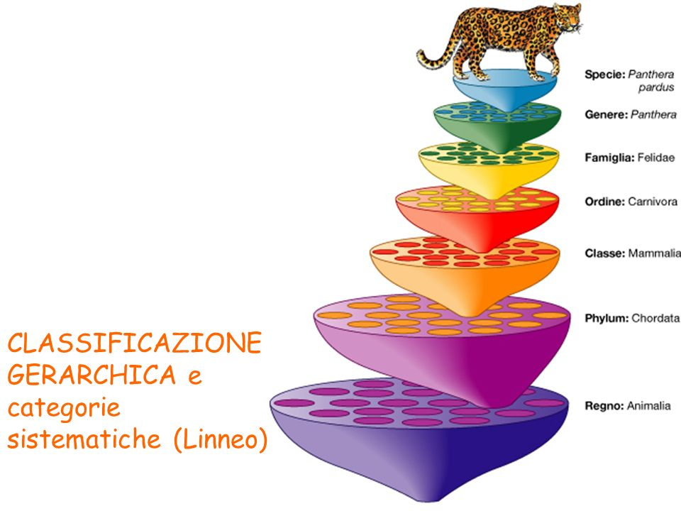 CLASSIFICAZIONE GERARCHICA e categorie sistematiche (Linneo)