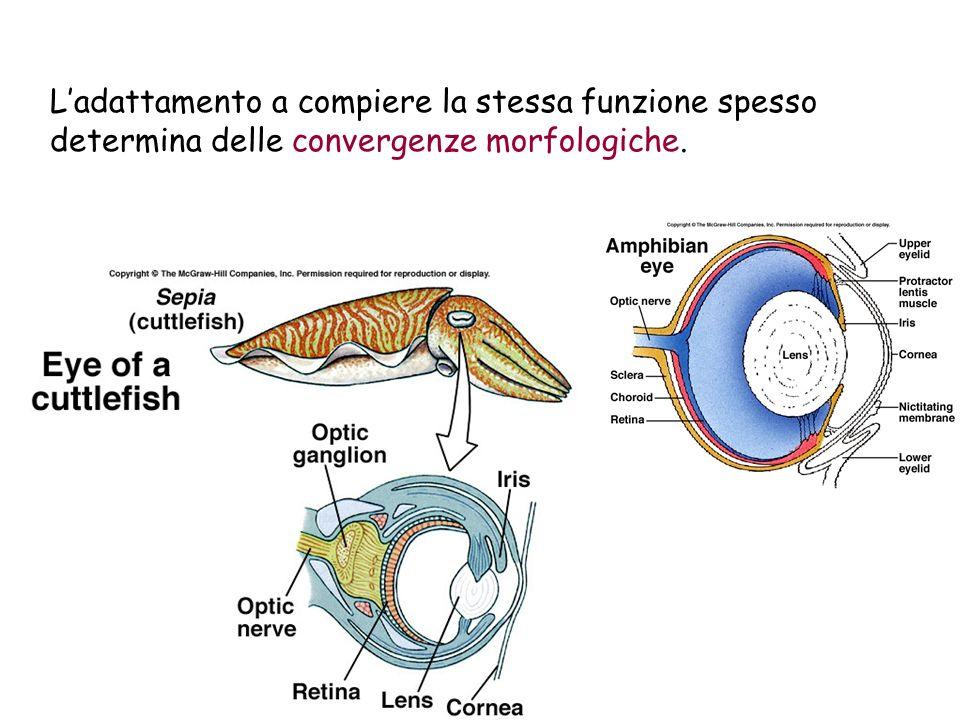 L'adattamento a compiere la stessa funzione spesso determina delle convergenze morfologiche.